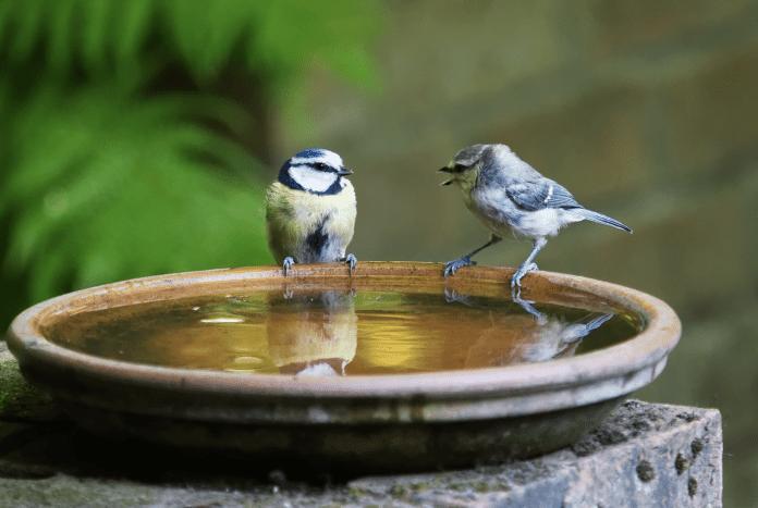 two bird on the birdbath