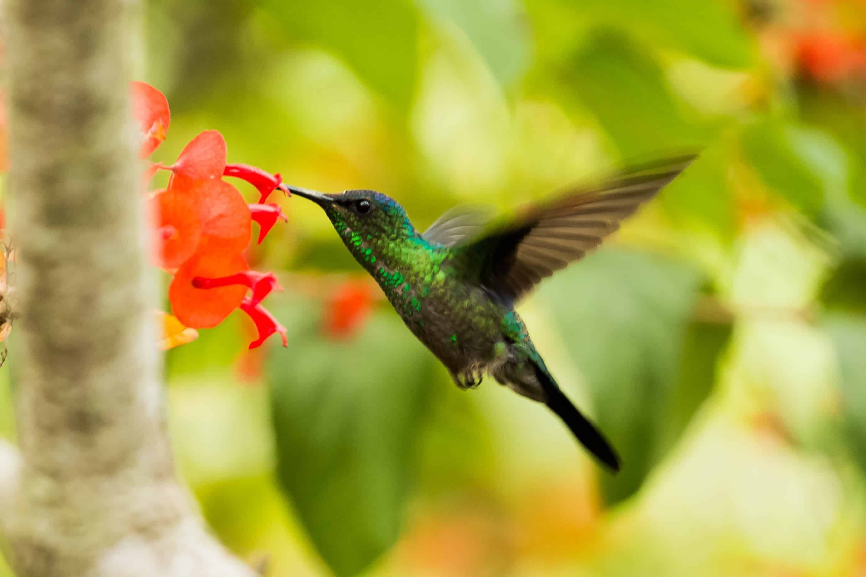 Flying Humming Bird is eating the flower nectar