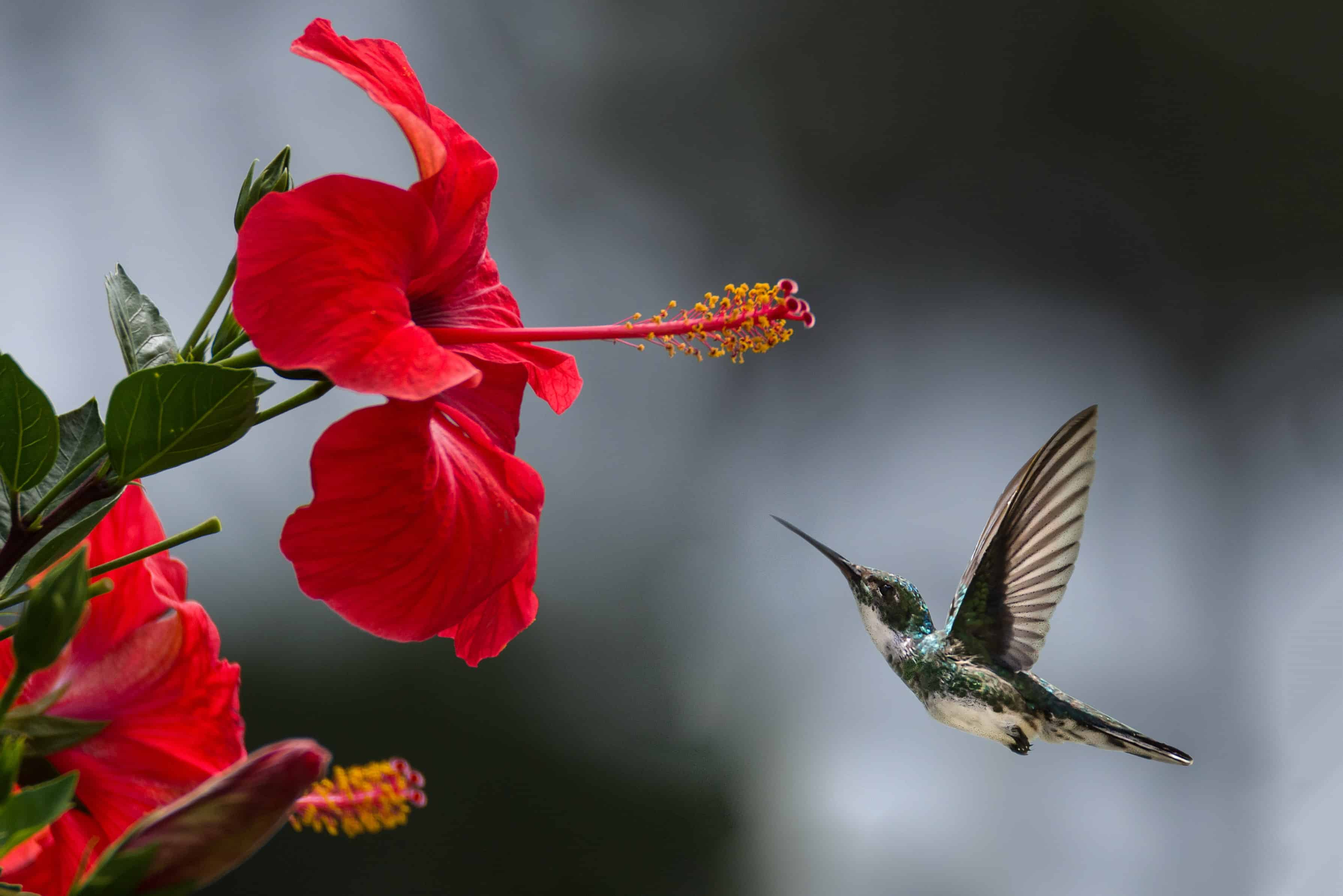 Flying humming bird is going to eat the flower pollen