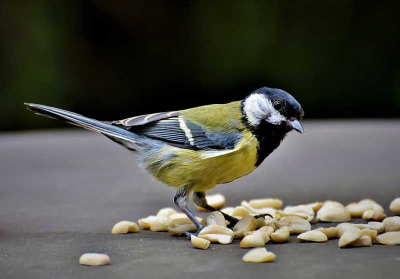 bird eating peanuts