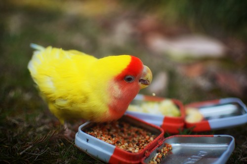 parrot eating birdseed