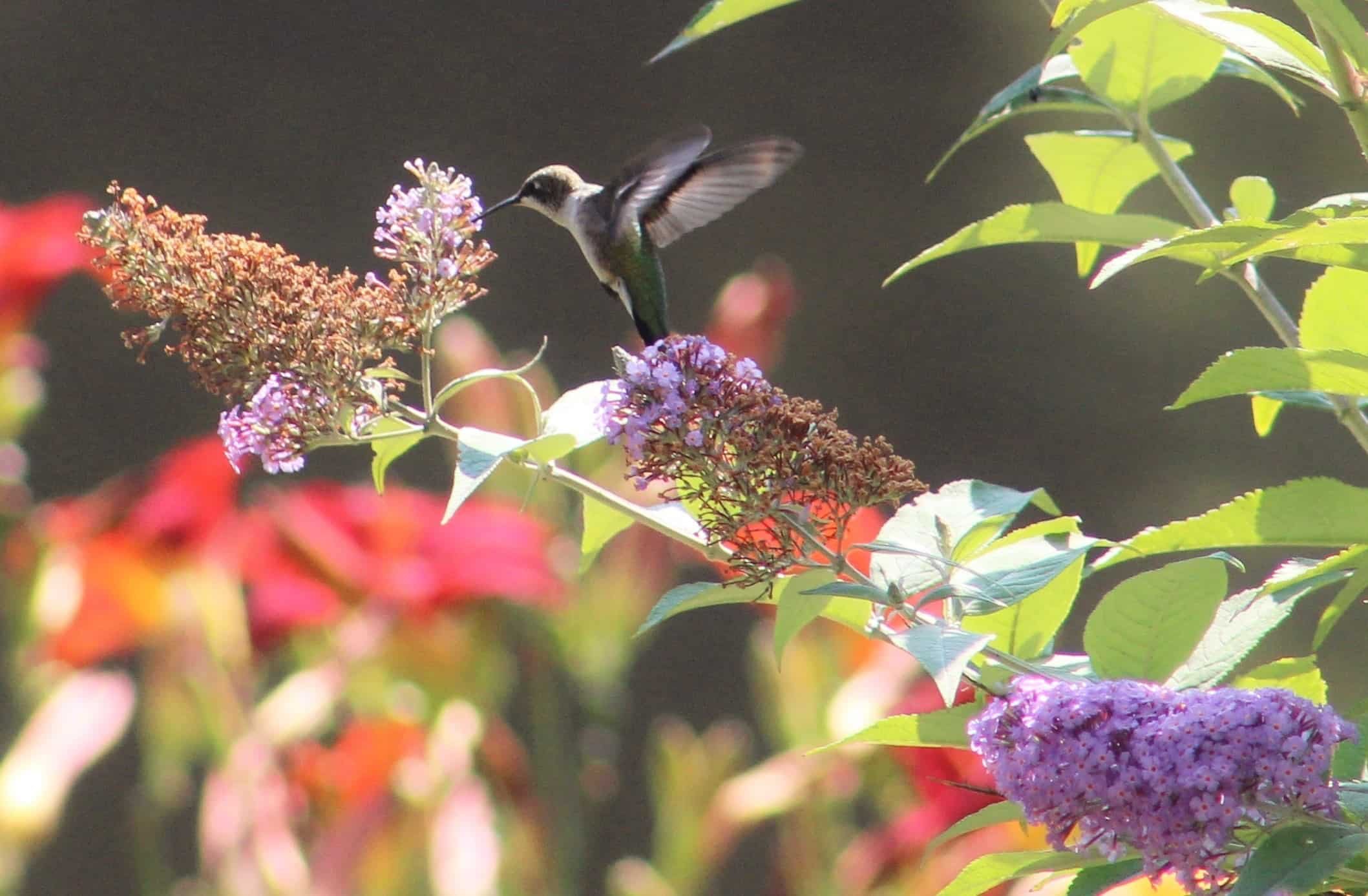 Flying hummingbird is eating a purple nectar