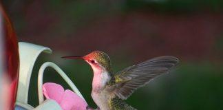 Hummingbird on ornament