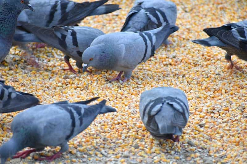 pigeon eating corn
