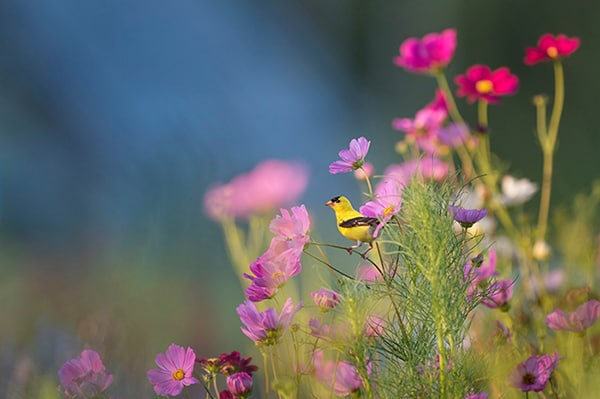 Yellow and black bird near purple flowers